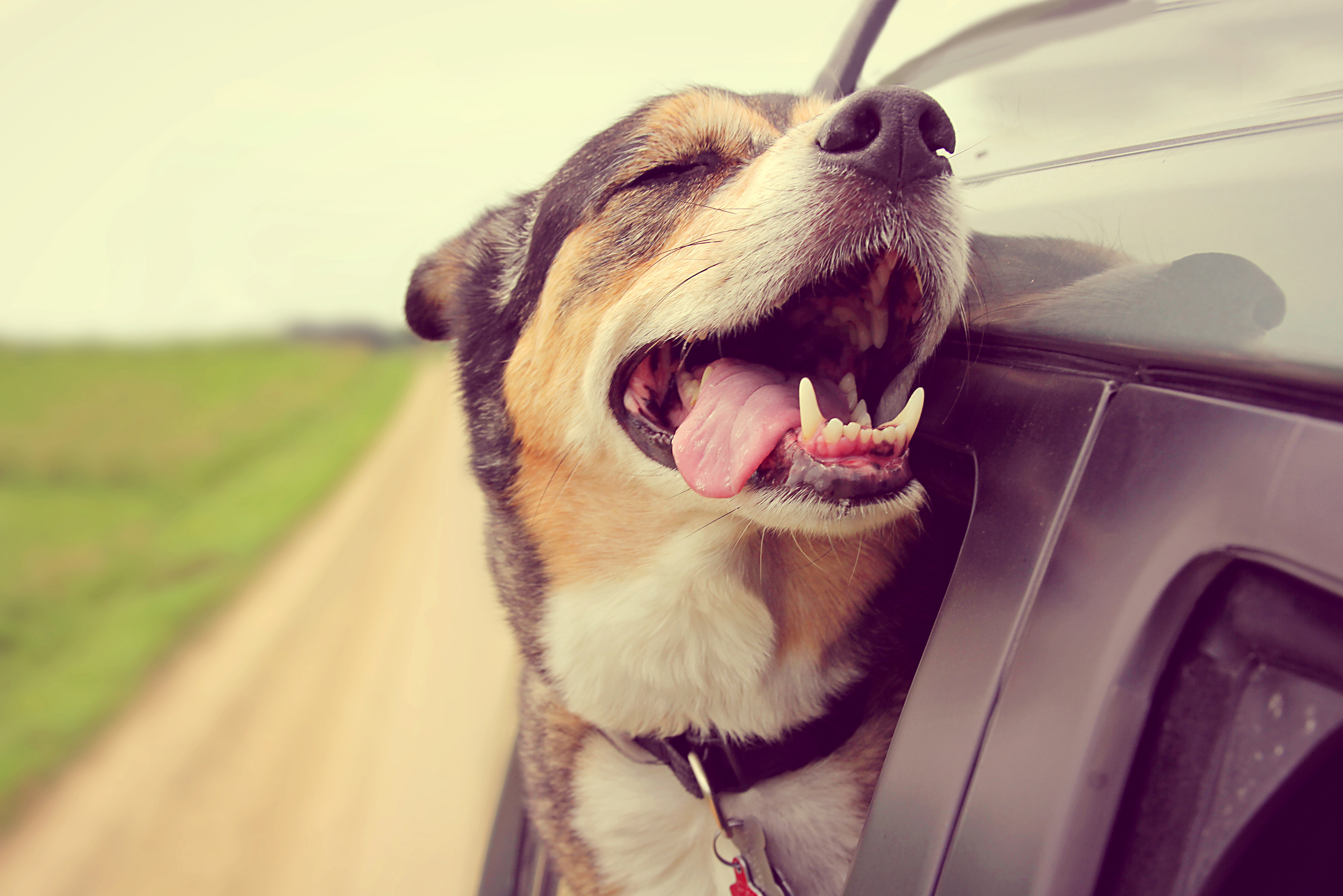 Car Safety for Pets - Woofs and Wags